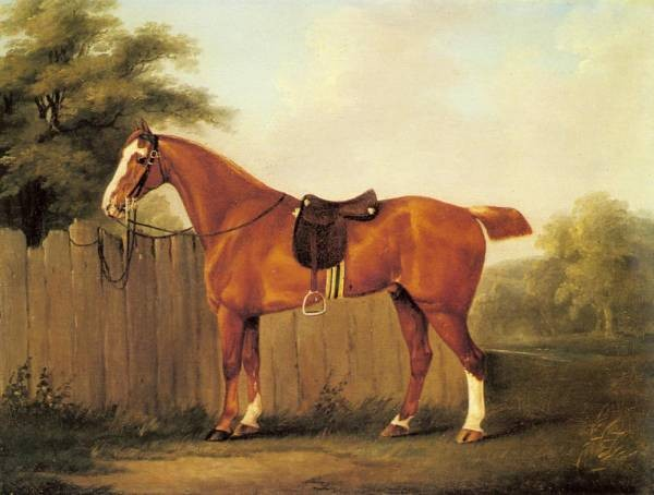 A Chestnut Hunter Tethered To A Fence